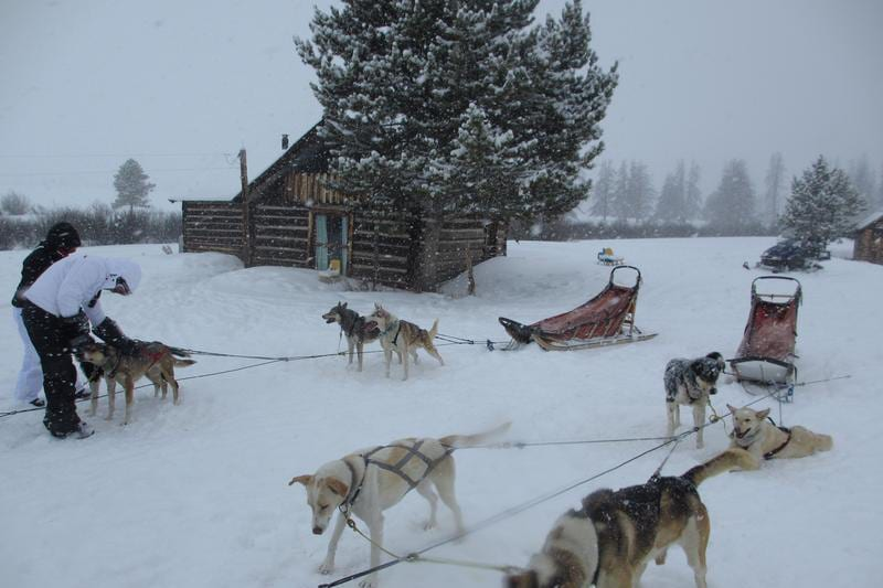 Grizzle T Dog Sledding