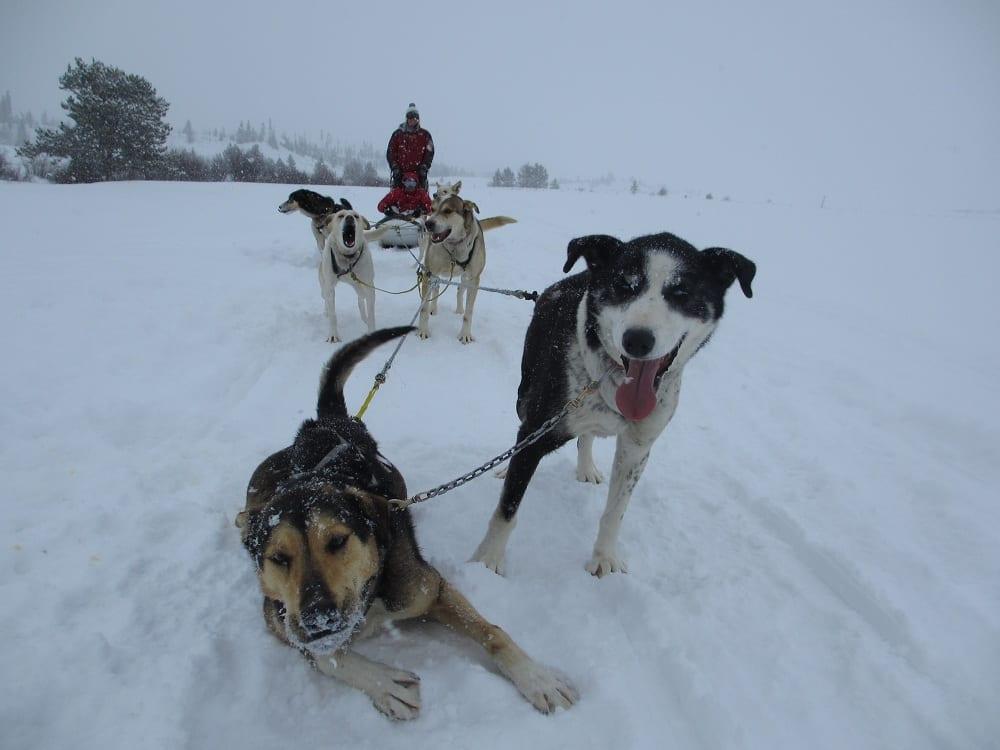 Steamboat Springs Dog Sledding