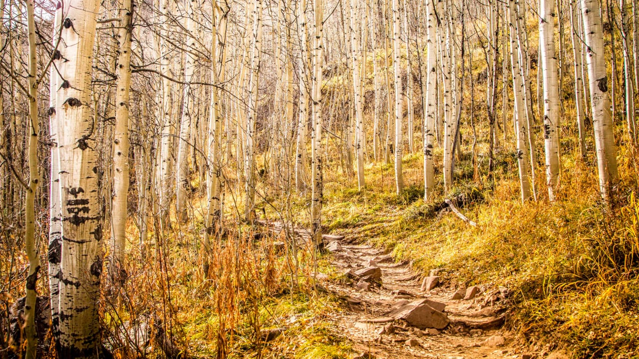 Autumn Aspen Forest Hiking Trail Pitkin Colorado
