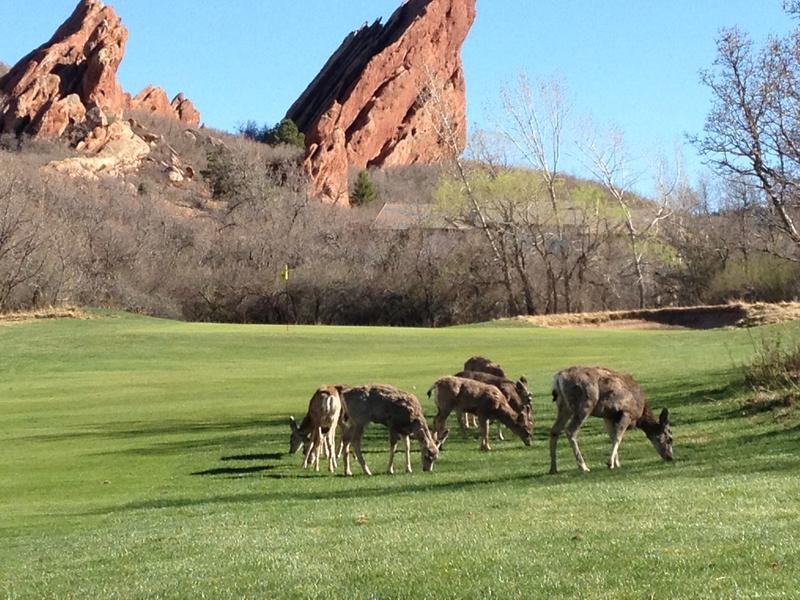 Arrowhead Golf Club Deer