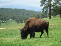 Buffalo Herd Overlook