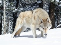 Colorado Wolf Center