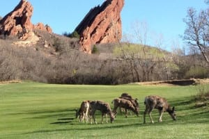 Arrowhead Golf Club Deer