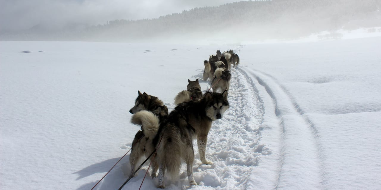 Pagosa Dogsled Adventures Malamutes
