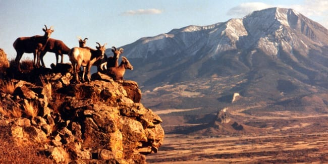Bighorn Sheep West Spanish Peak Huerfano County Colorado