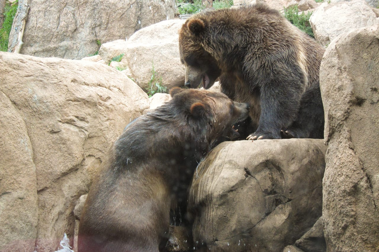 Cheyenne Mountain Zoo Grizzly Bears
