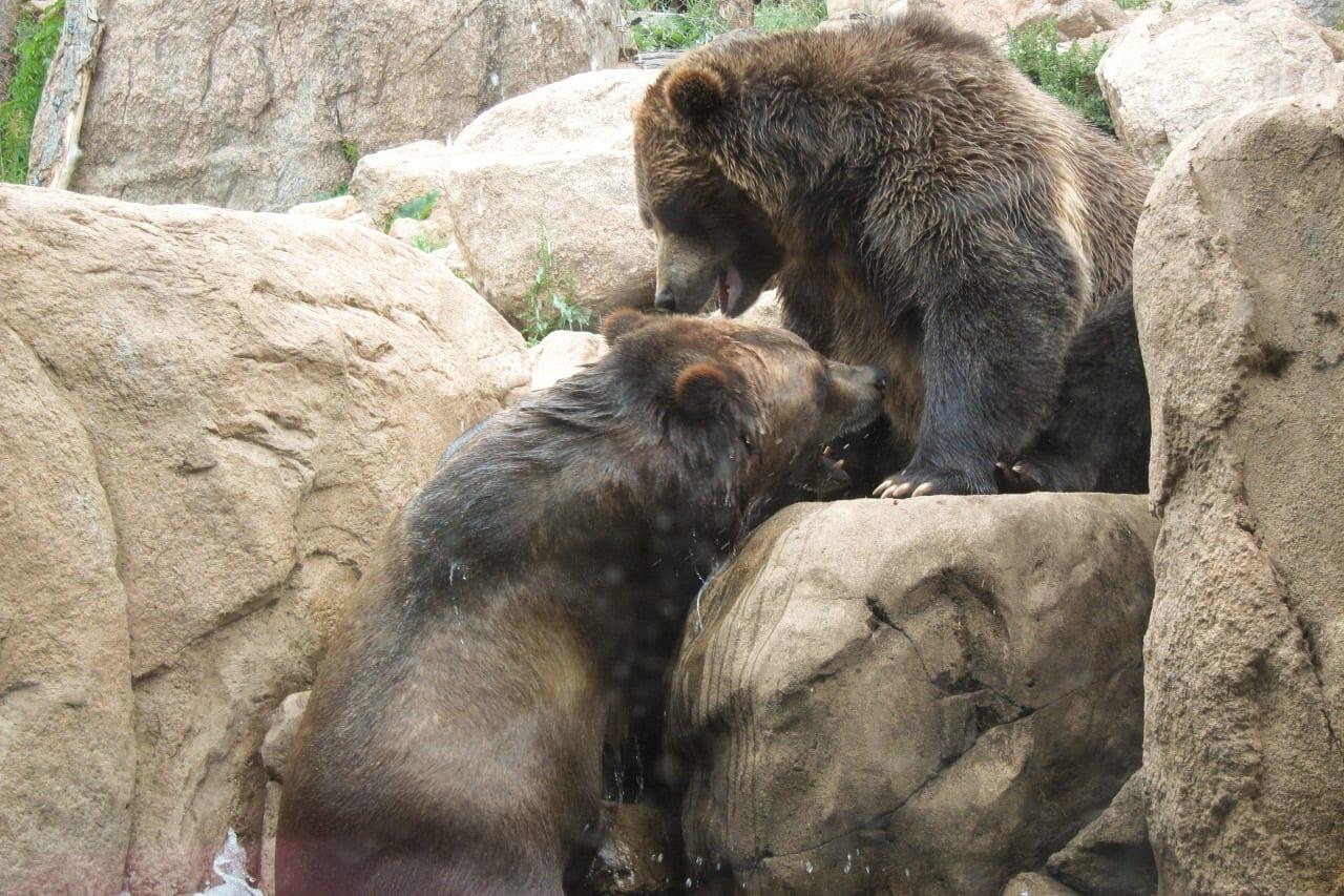 Cheyenne Mountain Zoo Grizzly Bears