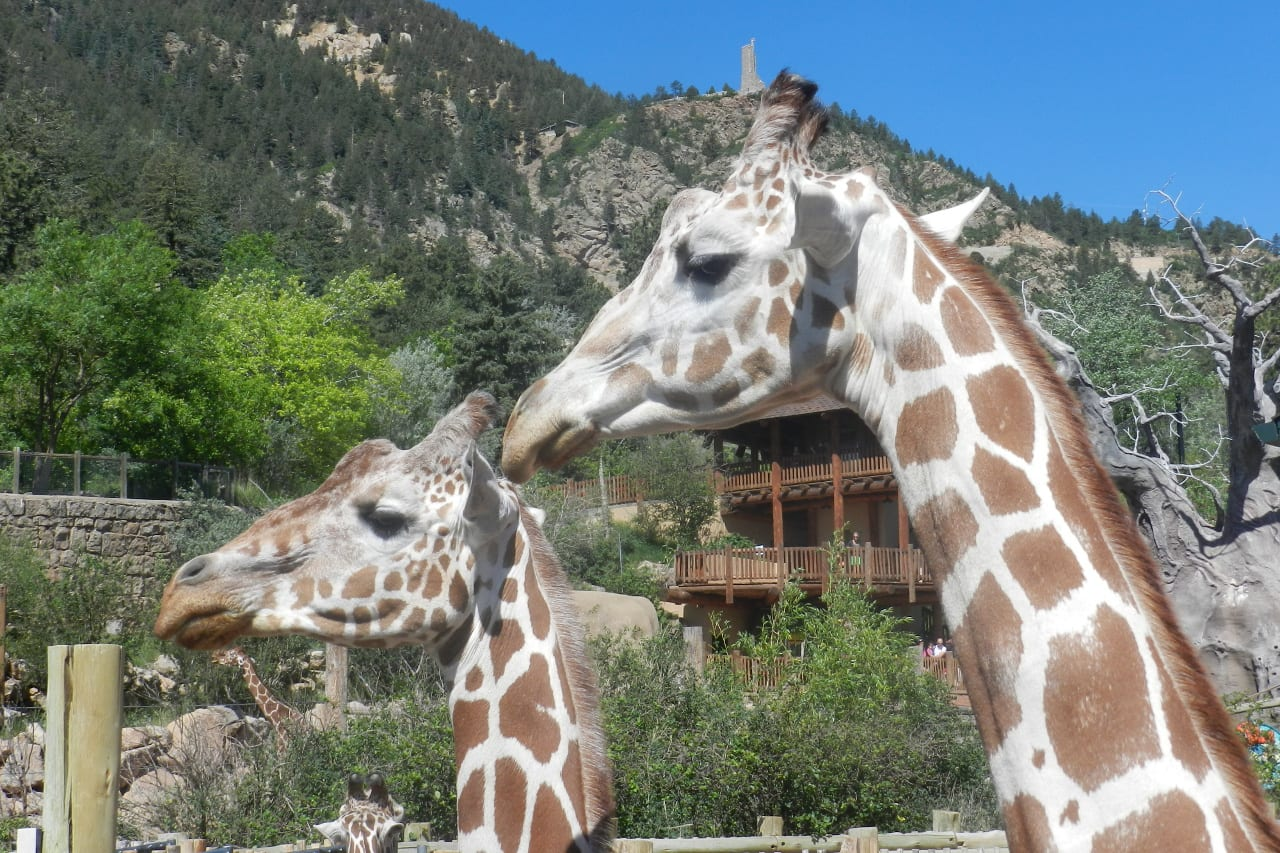 Cheyenne Mountain Zoo Giraffes