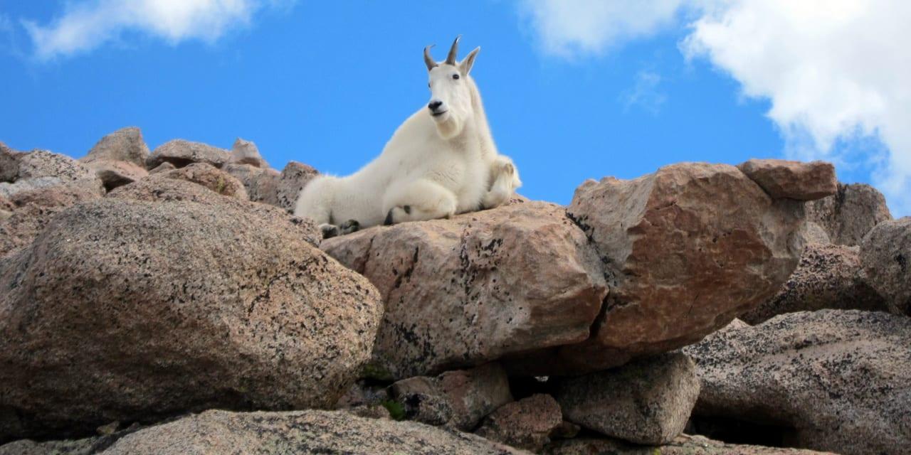 Mount Evans Colorado Mountain Goat
