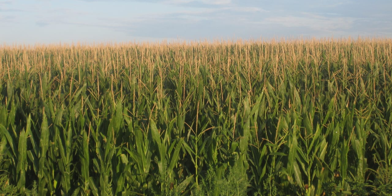 Cornfields Prowers County Colorado