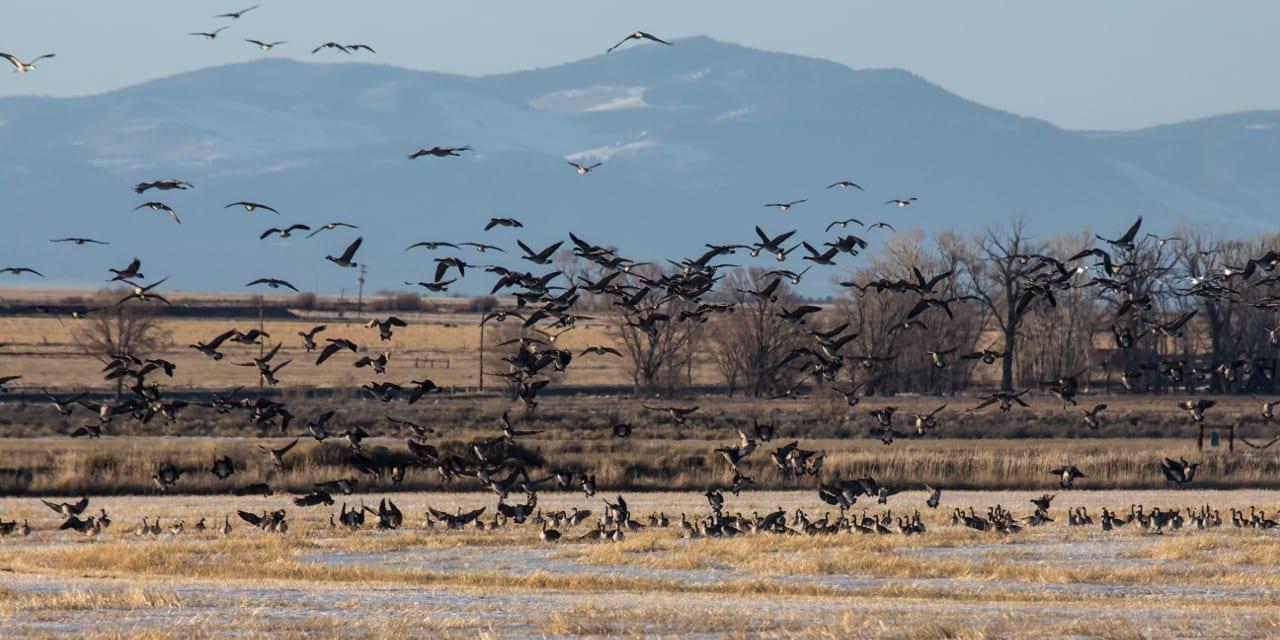 Monte Vista National Wildlife Refuge Cranes Geese