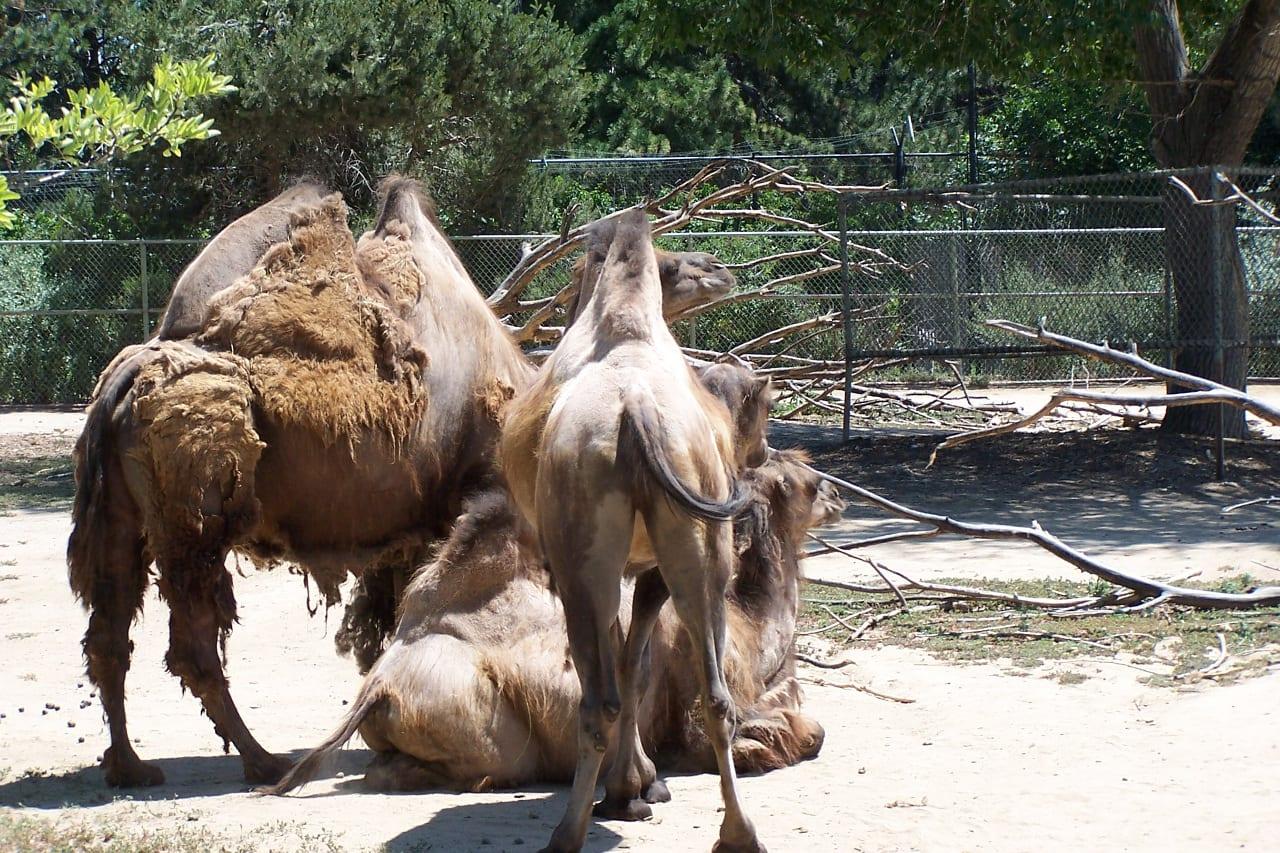 Denver Zoo Camels