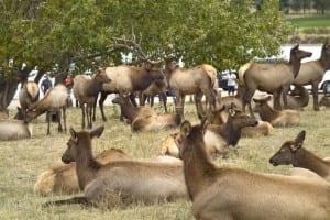 Estes Park Colorado Elk Herd