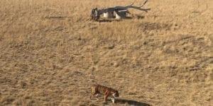 Big Cats at the Wild Animal Sanctuary