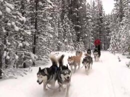 Good Times Adventures Dog Sledding Breckenridge