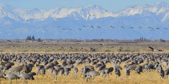 34th Monte Vista Crane Festival Colorado Birding Festival