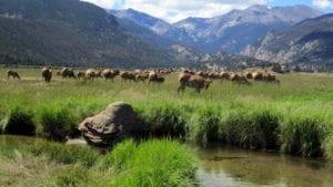 Elk Rut Moraine Park Rocky Mountain National Park