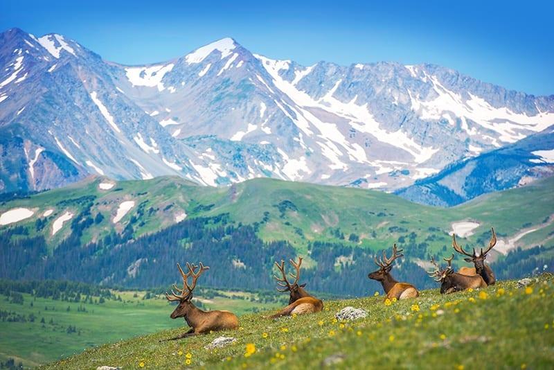 Elk Herd Rocky Mountains Colorado