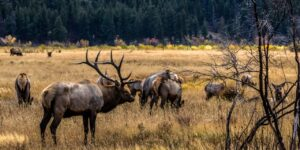How to Hunt Elk in Colorado
