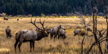 Elk Rut Rocky Mountain National Park Estes Park