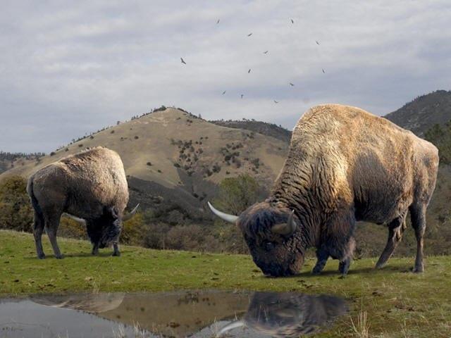 Pleistocene Bison South Park Colorao