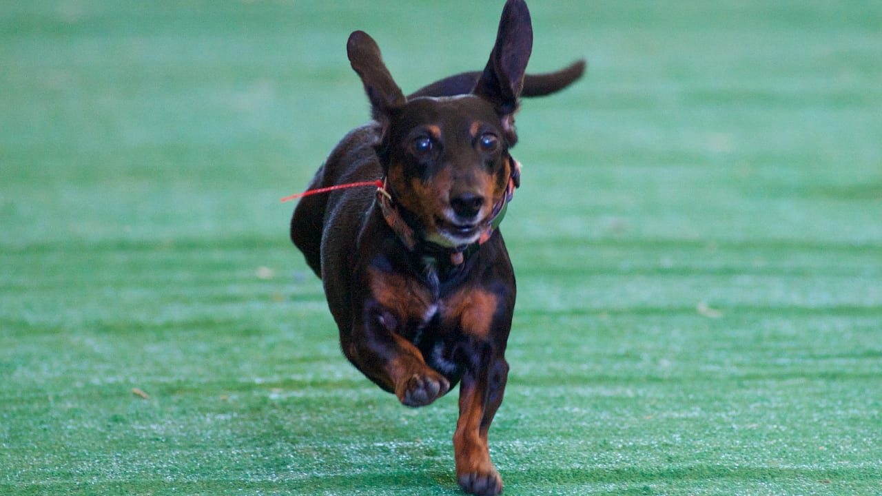 Denver Oktoberfest Weiner Dog Races