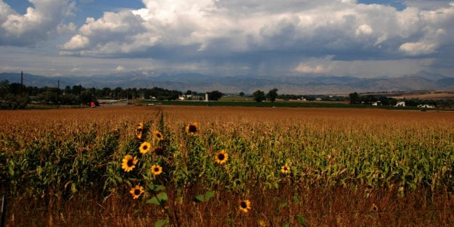 Lafayette Colorado Corn Field