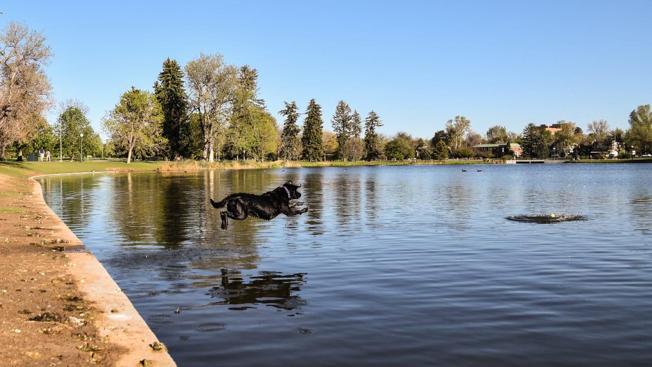 Denver Park Dog Lab Fetch