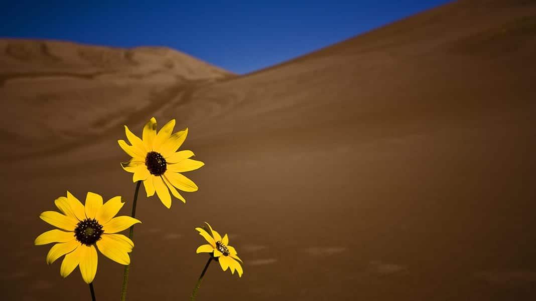 Great Sand Dunes National Park Sun Flowers