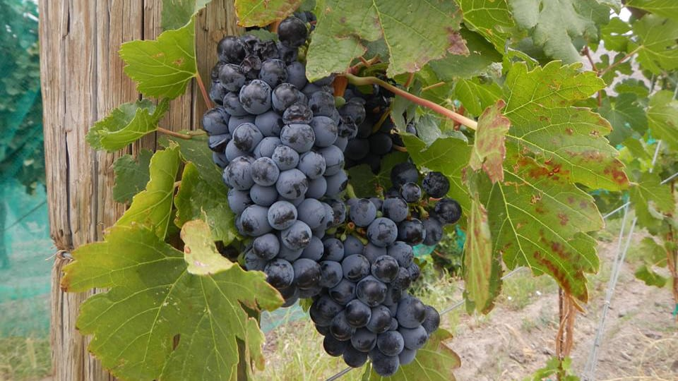 Bookcliff Vineyards Palisade Grapes
