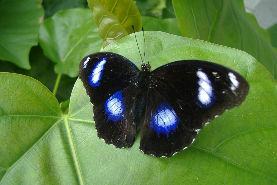Butterfly Pavilion Greater Eggfly