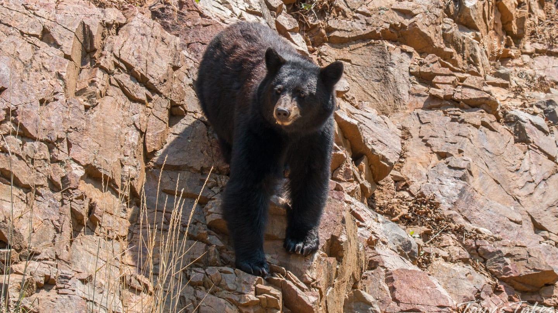 Mama Black Bear Denver Foothills
