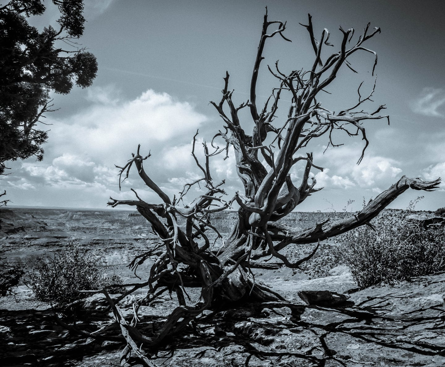Dominguez-Escalante National Conservation Area Dead Juniper Tree