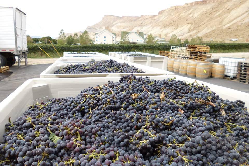 Grande River Vineyards Purple Grapes