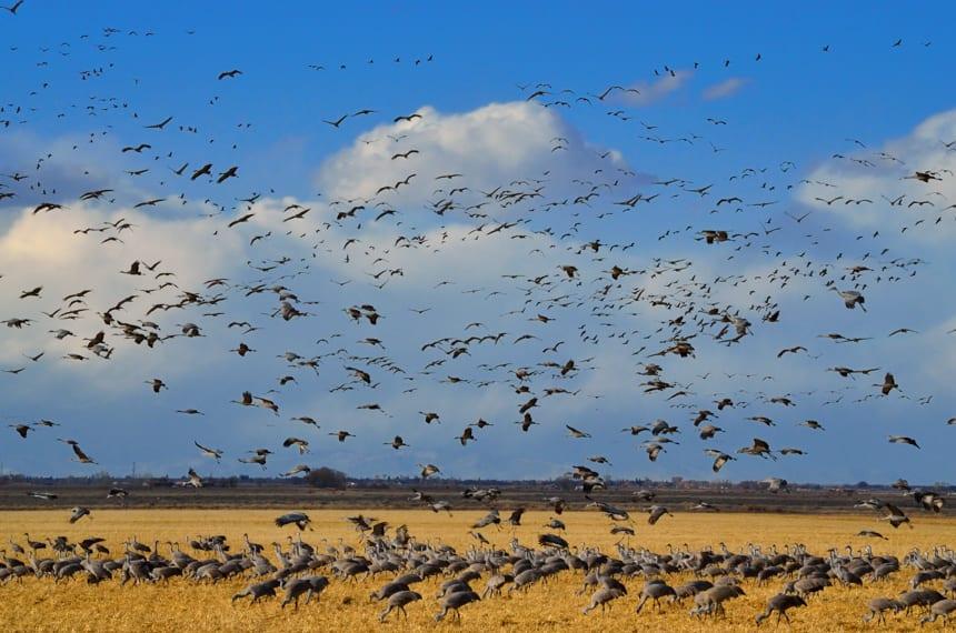 Monte Vista National Wildlife Refuge Sandhill Cranes Vortex