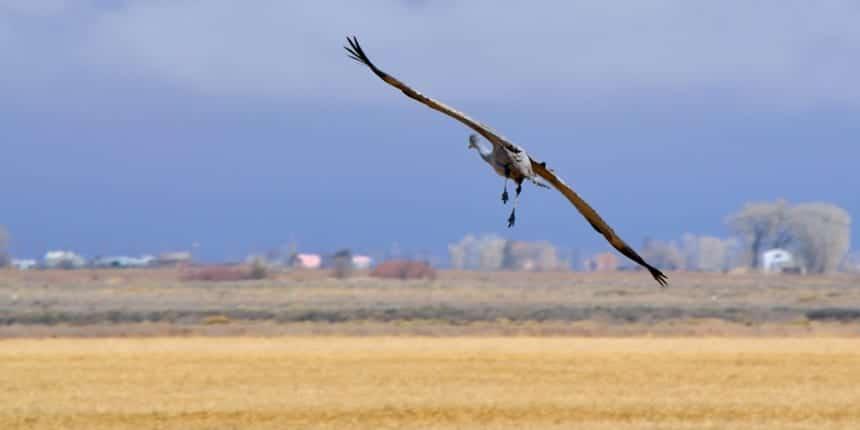 Monte Vista National Wildlife Refuge Sandhill Crane Flight