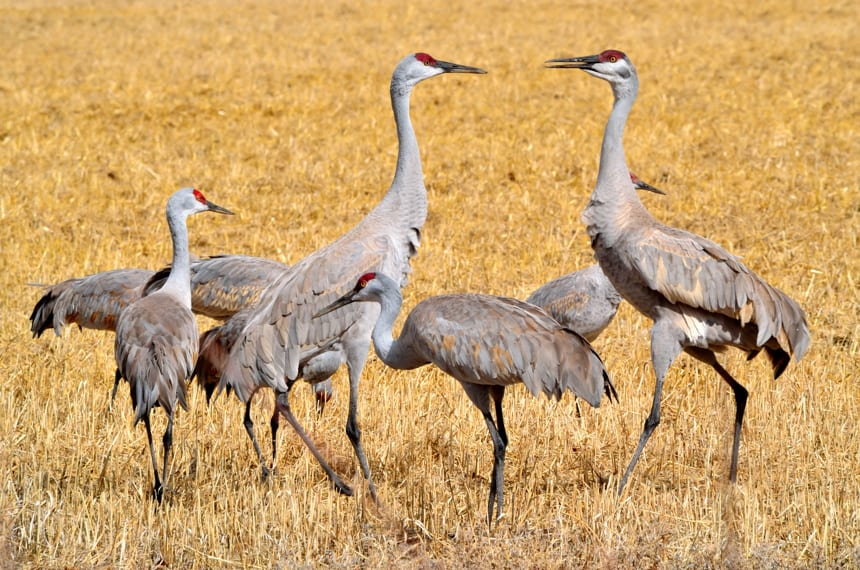 Monte Vista National Wildlife Refuge Sandhill Cranes