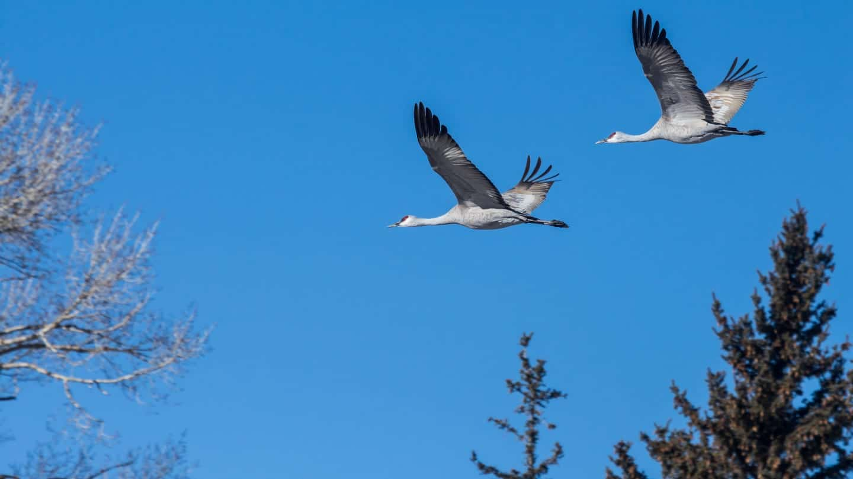 Monte Vista National Wildlife Refuge Sandhill Cranes Flying