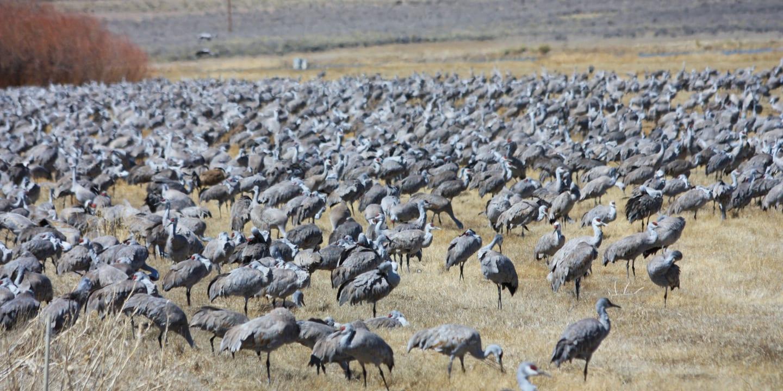Monte Vista National Wildlife Refuge Sandhill Cranes