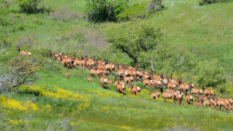 Rocky Flats National Wildlife Refuge Golden Elk Herd
