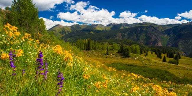 Colorado Wildflowers San Juan Mountains