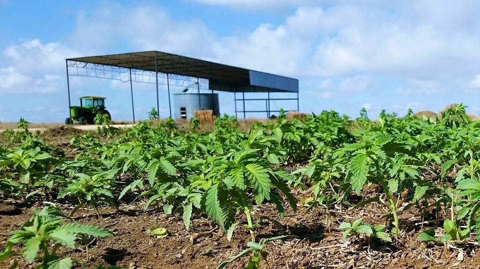 Rocky Mountain Hemp Young Marijuana Plants