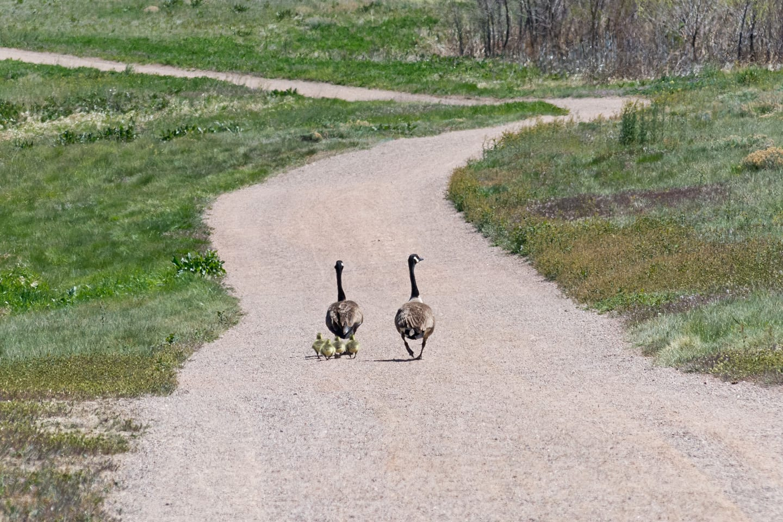 Big Dry Creek Trail Canada Geese