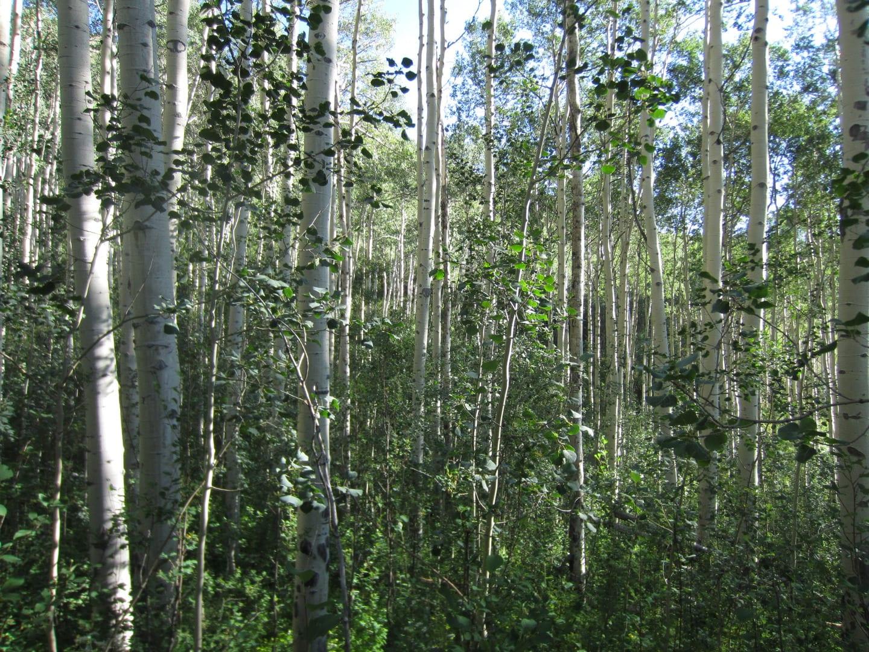 Eagles Nest Wilderness Aspen Grove