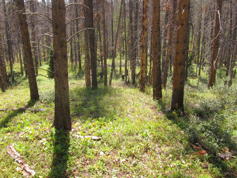 Eagles Nest Wilderness Lodgepole Pine Forest