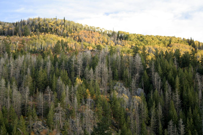 Fish Creek Falls Trail Autumn Aspens