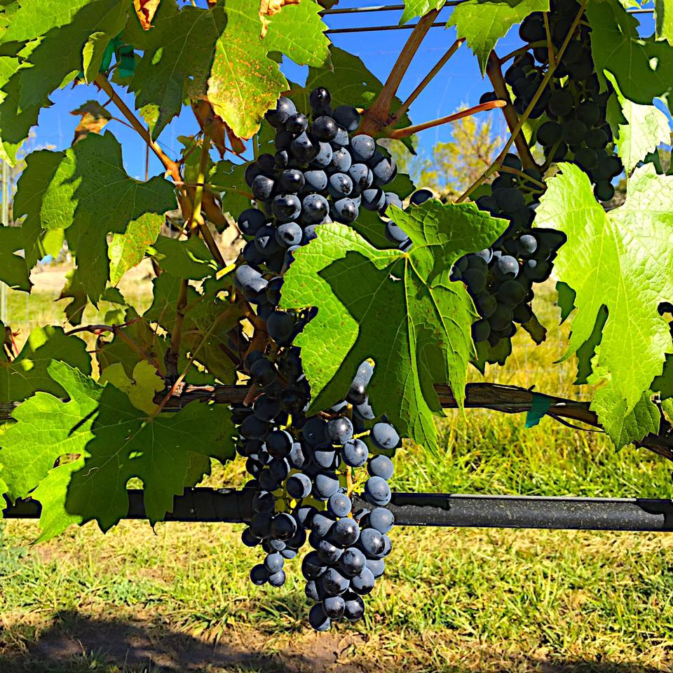 Fox Firm Farms Vineyard Grapes Ignacio