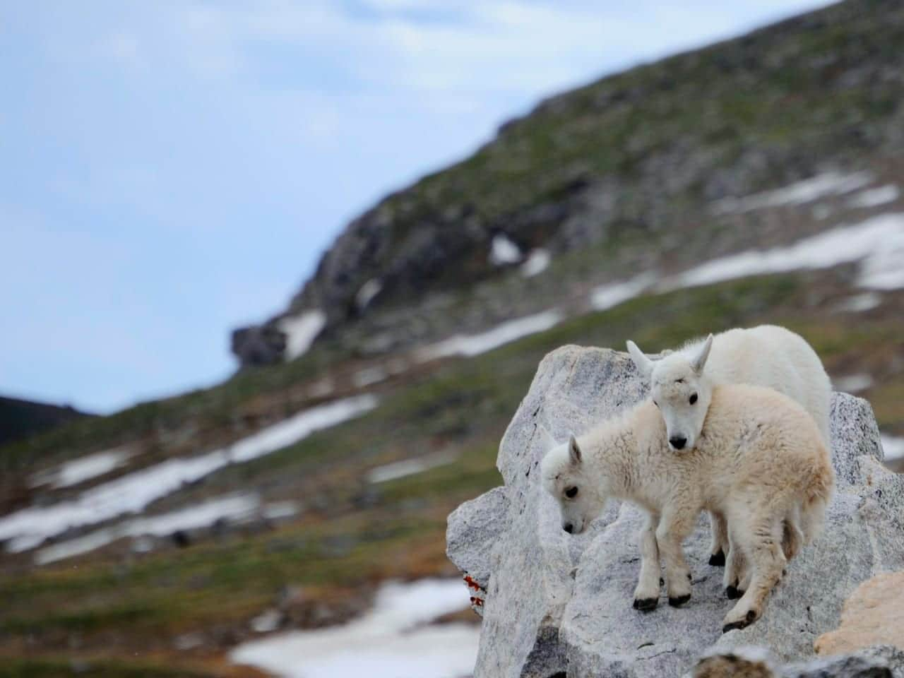 Mount Evans Trail Baby Mountain Goats