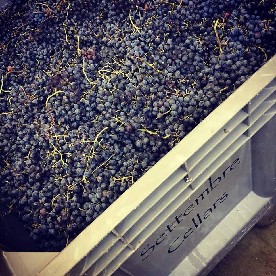 Settembre Cellars Cabernet Franc Grapes