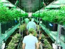 Colorado Marijuana Tours